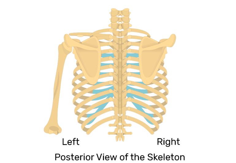 Scapula Bone Introduction