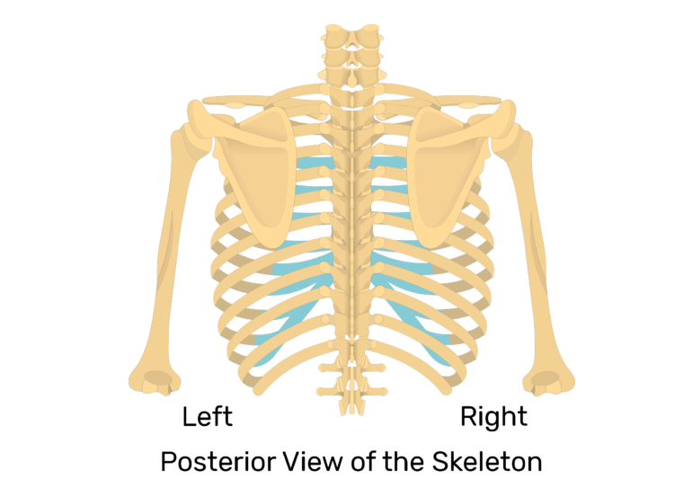 View of the scapula on posterior view