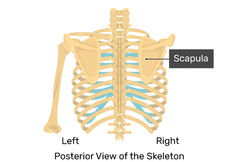 The posterior view of skeleton showing the left scapula and humerus and labeled right scapula