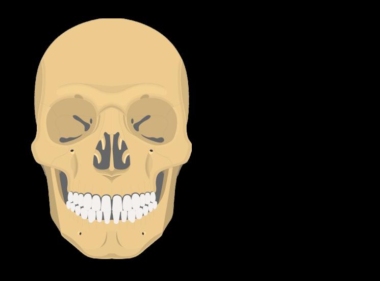 The Skull Bones Anterior View
