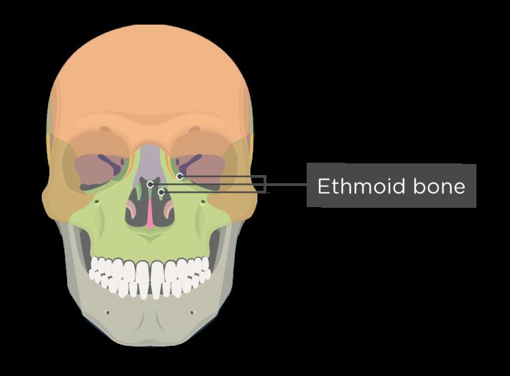 Skull bones - anterior view - ethmoid bone - divisions