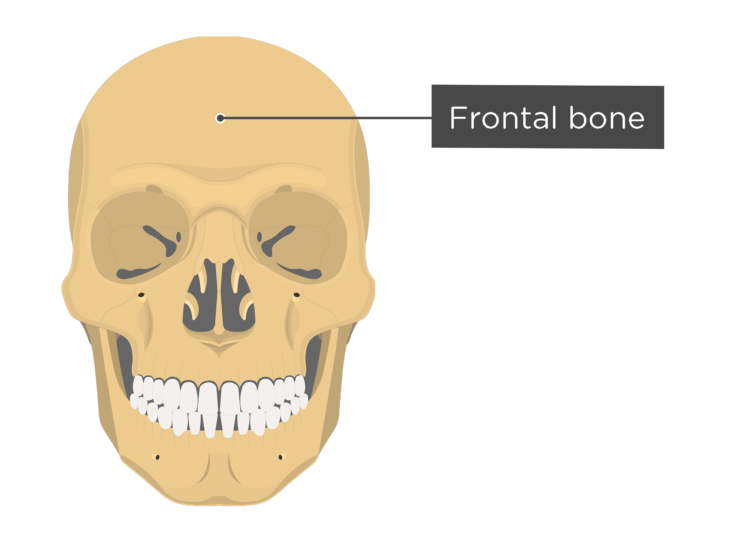 Skull bones - anterior view - frontal bone