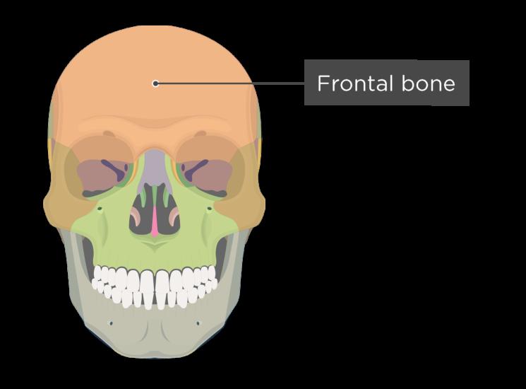 Skull bones - anterior view - frontal bone - divisions