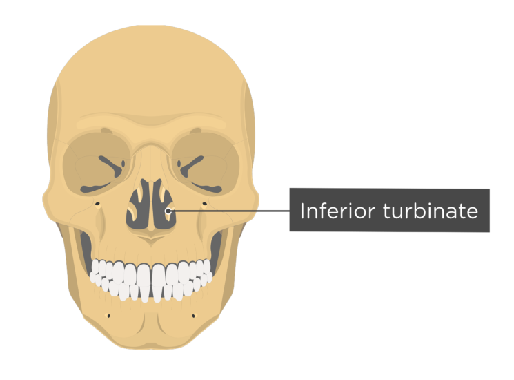 Skull bones - anterior view - inferior turbinate