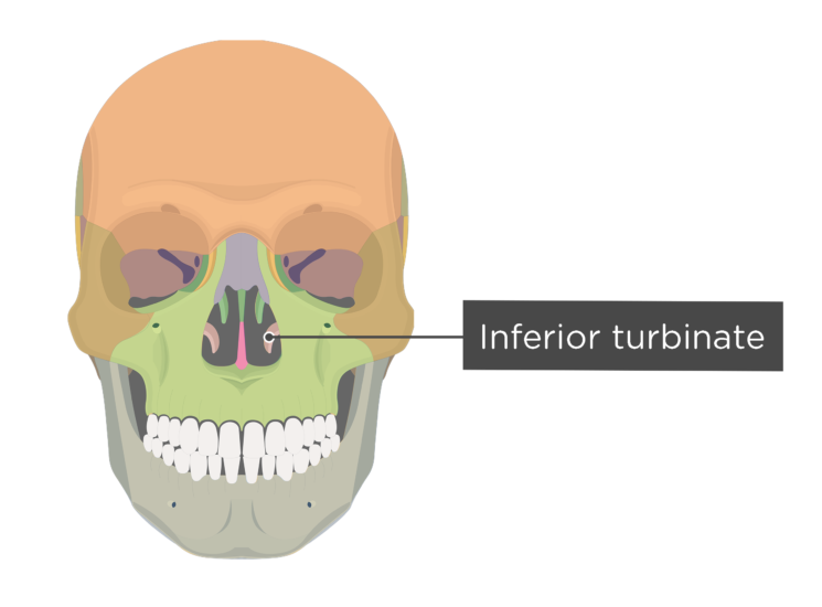 Skull bones - anterior view - inferior turbinate - divisions