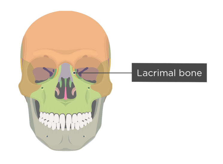 Skull bones - anterior view - lacrimal bone - divisions