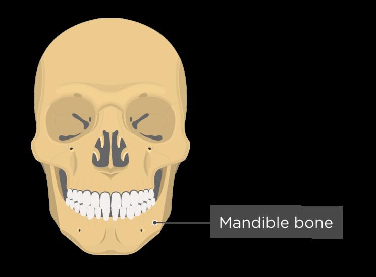 Skull bones - anterior view - mandible