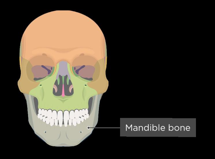 Skull bones - anterior view - mandible - divisions