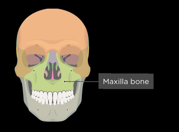 Skull bones - anterior view - maxilla bone - divisions