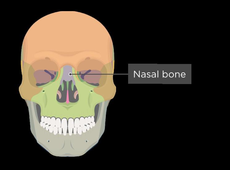 Skull bones - anterior view - nasal bone - divisions