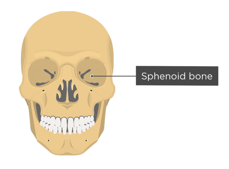 Skull bones - anterior view - sphenoid bone