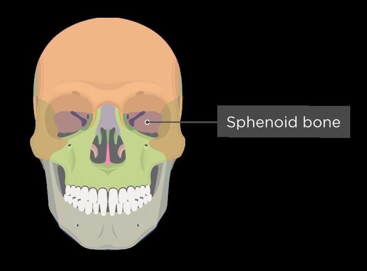 Skull bones - anterior view - sphenoid bone - divisions