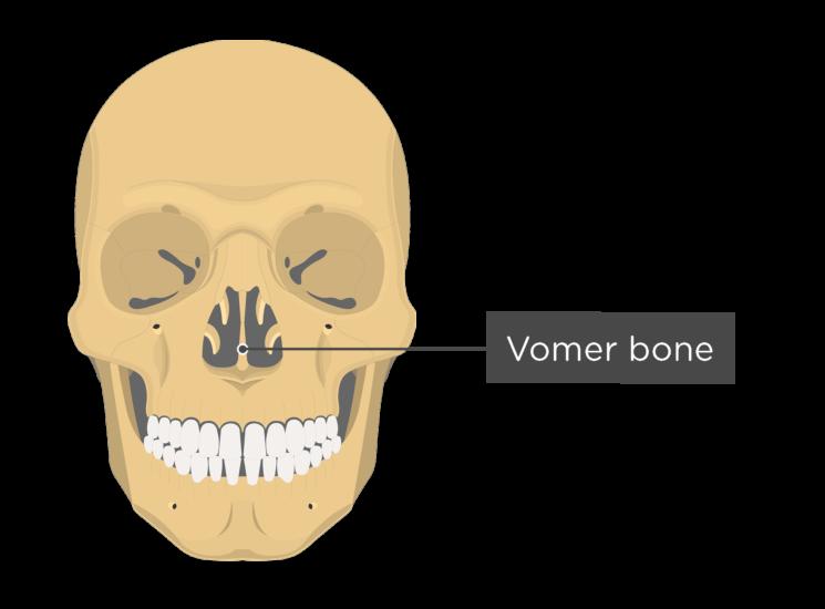 Skull bones - anterior view - vomer bone