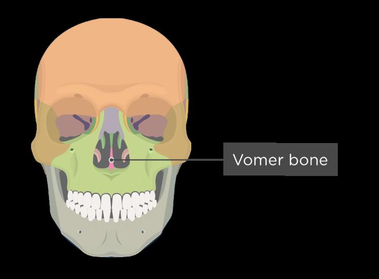 Skull bones - anterior view - vomer bone - divisions