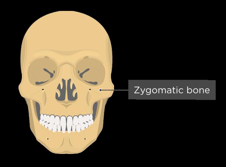 Skull bones - anterior view - zygomatic bone