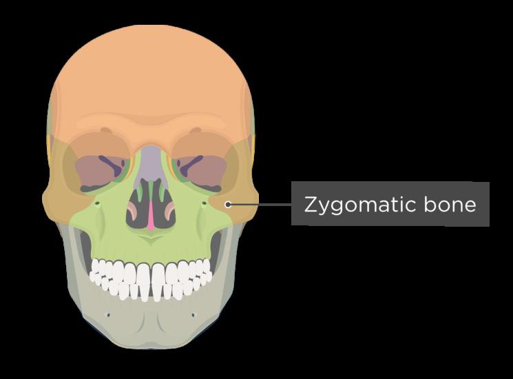 Skull bones - anterior view - zygomatic bone - divisions