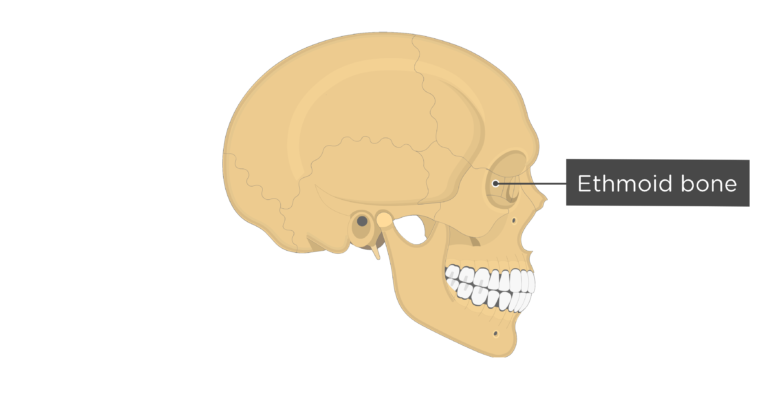 Skull bones - lateral view - ethmoid bone