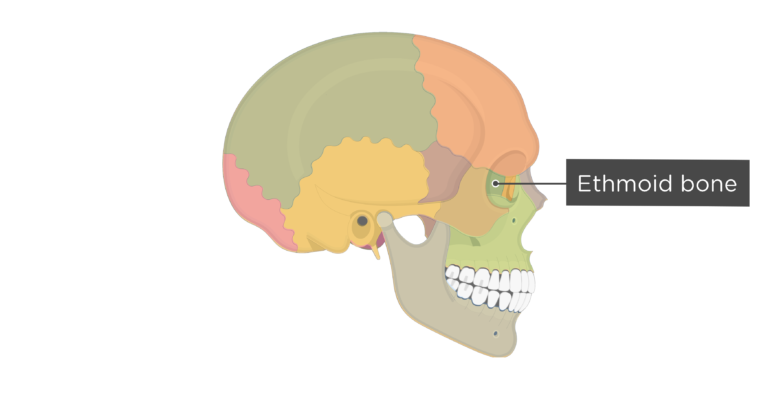 Skull bones - lateral view - ethmoid bone - divisions