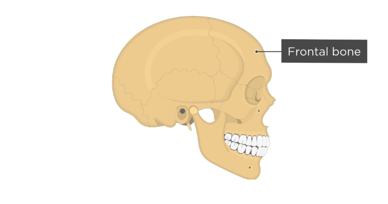 Skull bones - lateral view - frontal bone