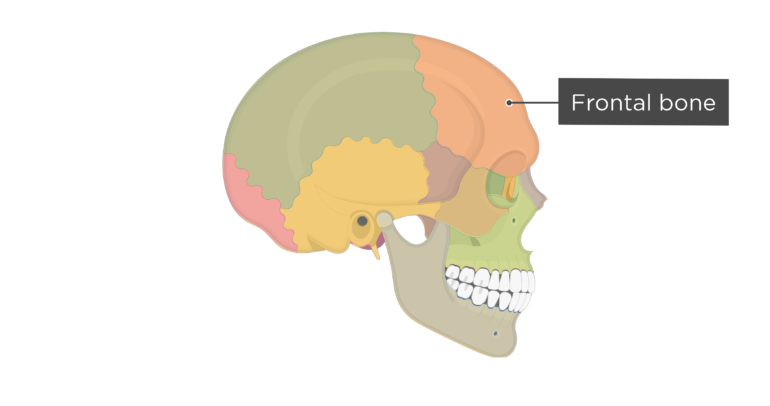 Skull bones - lateral view - frontal bone - divisions
