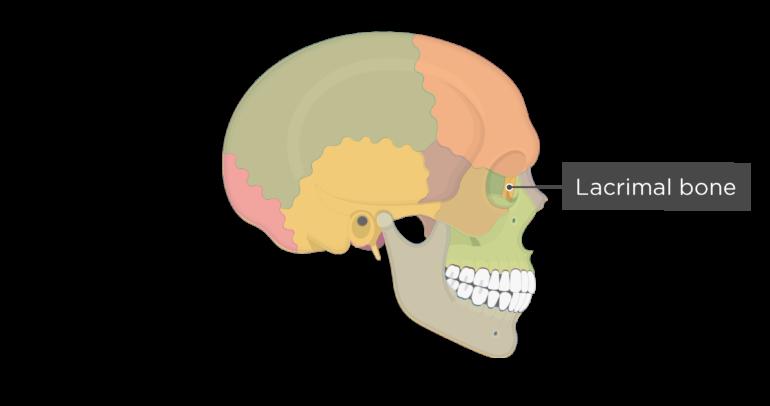 Skull bones - lateral view - lacrimal bone - divisions
