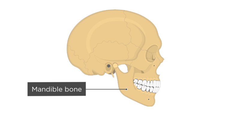 Skull bones - lateral view - mandible bone