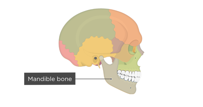 Skull bones - lateral view - mandible bone - divisions