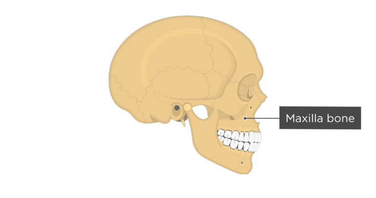 Skull bones - lateral view - maxilla bone
