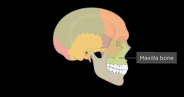 Skull bones - lateral view - maxilla bone - divisions