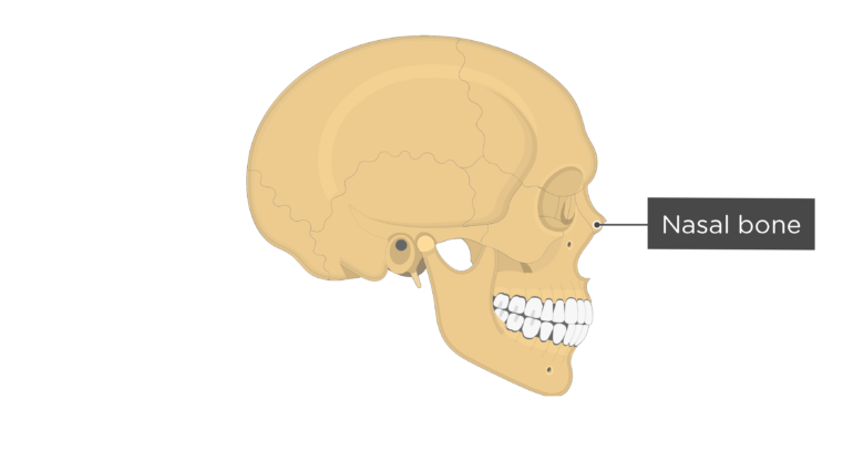 Skull bones - lateral view - nasal bone