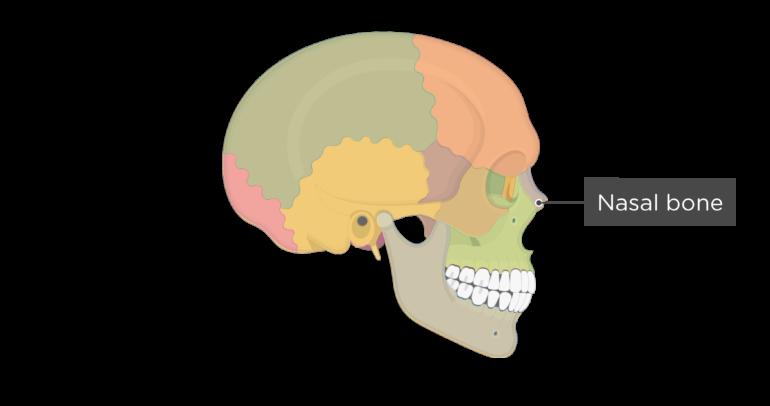 Skull bones - lateral view - nasal bone - divisions