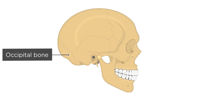 Skull bones - lateral view - occipital bone
