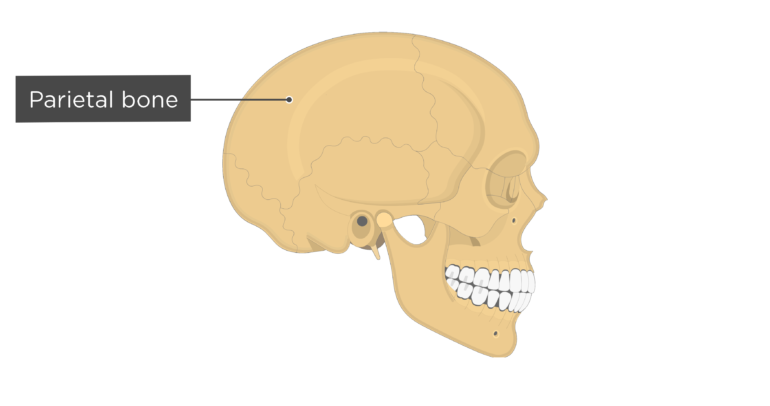 Skull bones - lateral view - parietal bone