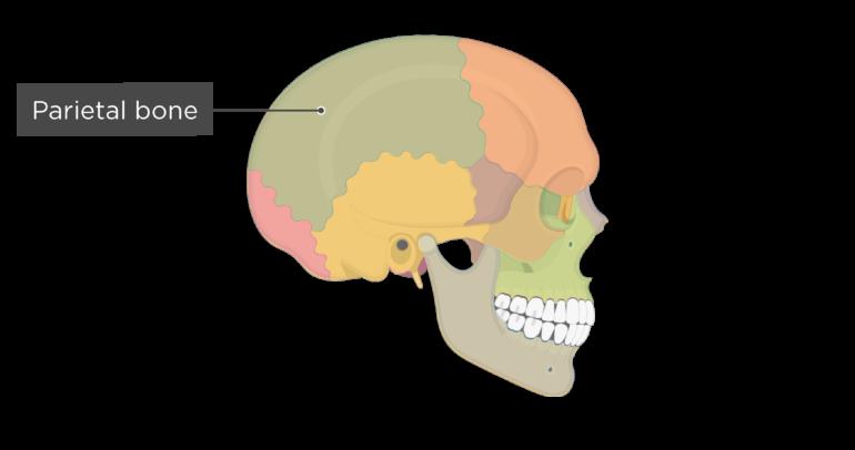 Skull bones - lateral view - parietal bone - divisions