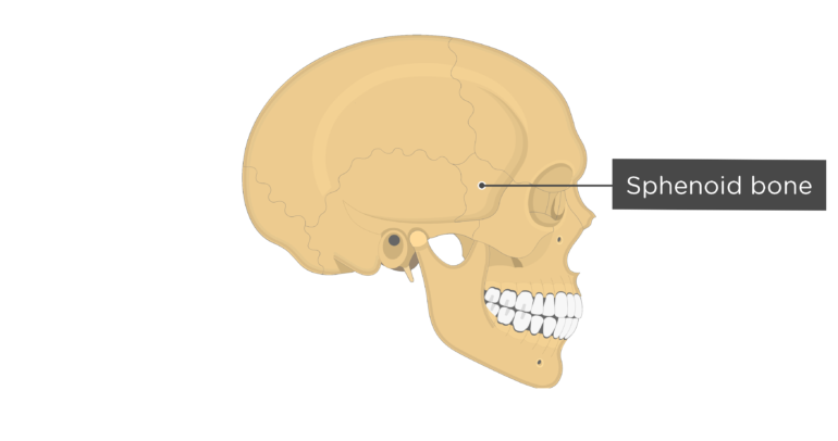 Skull bones - lateral view - sphenoid bone