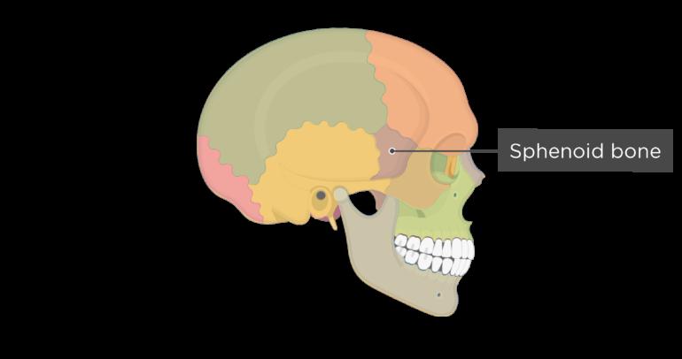 Skull bones - lateral view - sphenoid bone - divisions