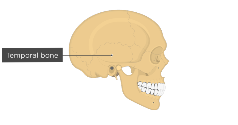 Skull bones - lateral view - temporal bone