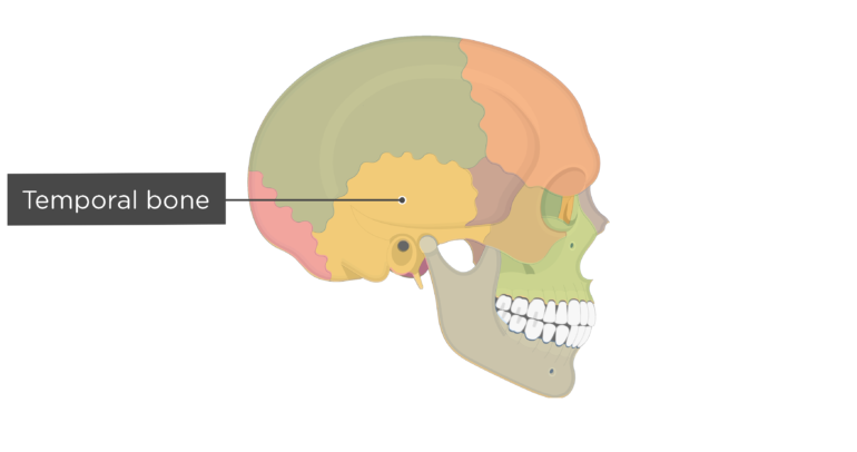 Skull bones - lateral view - temporal bone - divisions