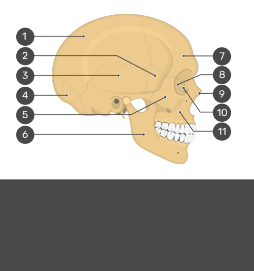 Skull bones - lateral view - test yourself