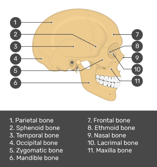 Skull bones - lateral view - test yourself - answers