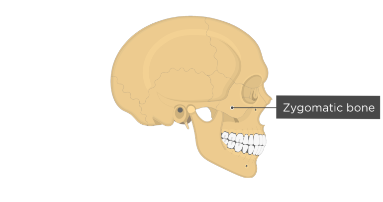 Skull bones - lateral view - zygomatic bone