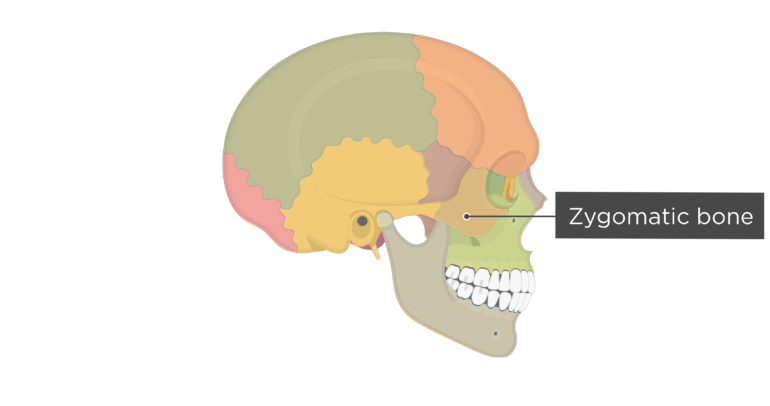 Skull bones - lateral view - zygomatic bone - divisions