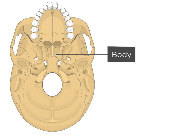 Skull markings - inferior view - body