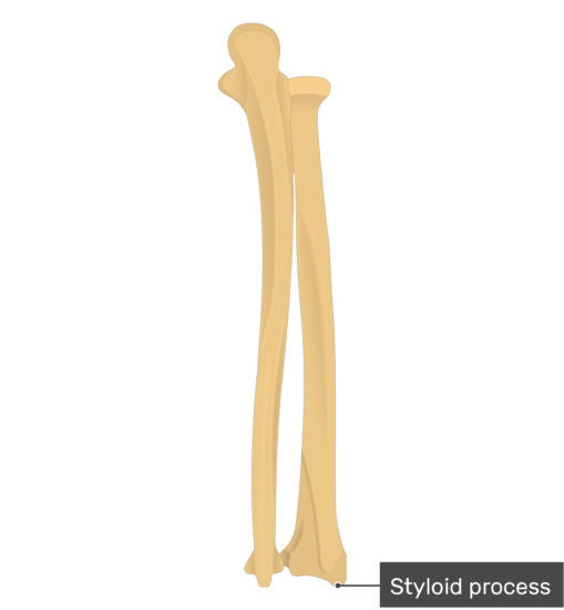 Styloid process of radius - Radius and Ulna Bones - Posterior View