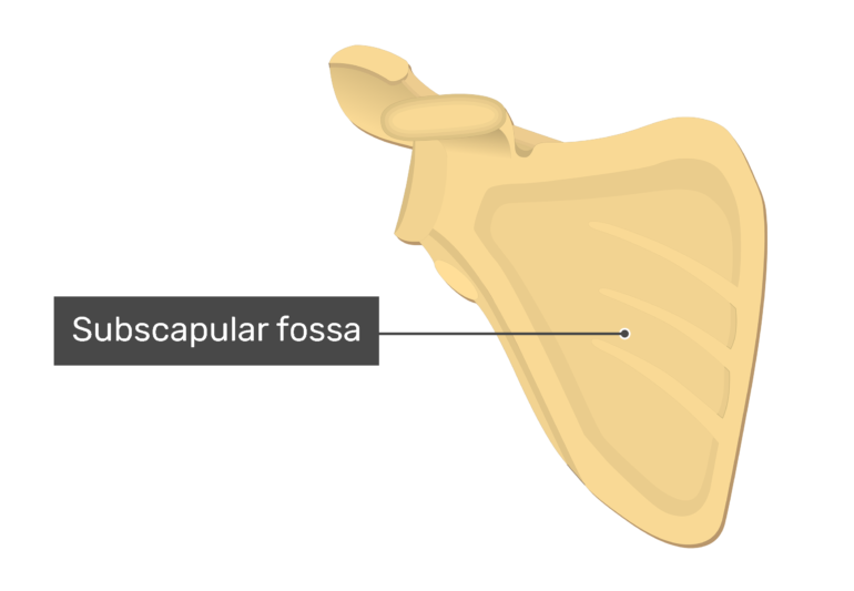 Anterior scapula with labeled subscapular fossa