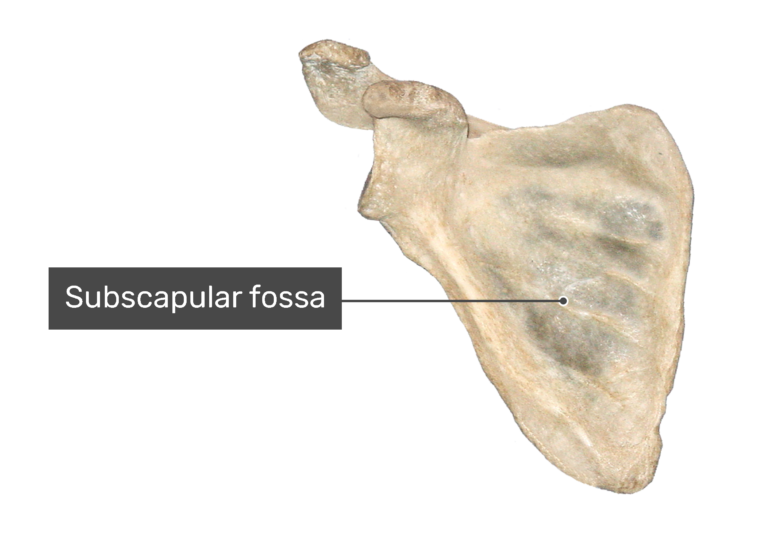 Anterior scapula bone with labeled subscapular fossa