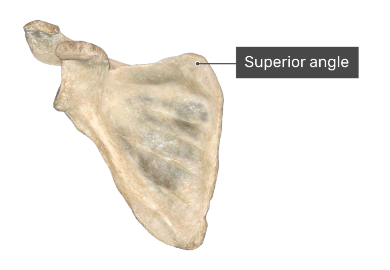 Anterior scapula bone with labeled superior angle