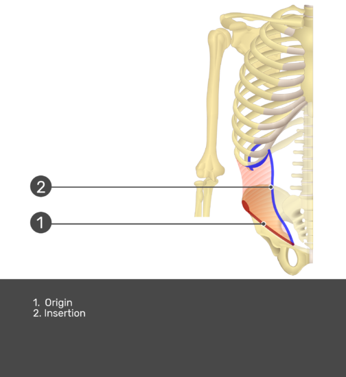 Internal Oblique with labels: Insertion and Origin