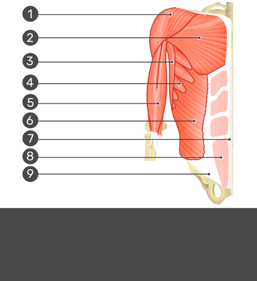 Test yourself on rectus abdominis muscle with answers hidden