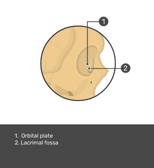 An image of the lacrimal bone with labels of orbital plate and lacrimal fossa.